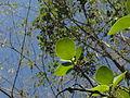 Pterocarpus santalinus 09.JPG