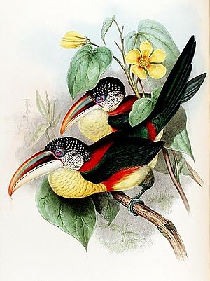 Curl-crested aracari - Image: Pteroglossus beauharnaesii Gould