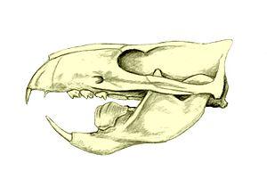Multituberculata - Skull of Ptilodus. Notice the massive blade-like lower premolar.