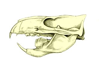 Multituberculata - Skull of Ptilodus. Notice the massive blade-like lower premolar.