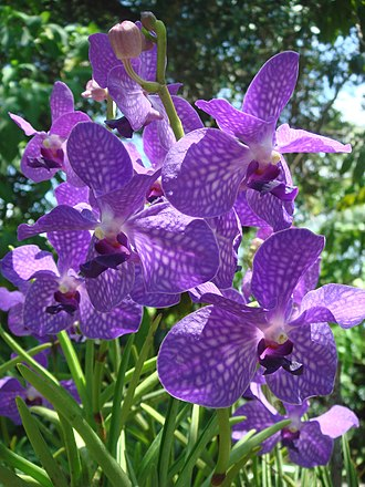 American Orchid Society - Image: Purple orchids at Am Orchid Society, Delray Bch