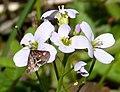 Pyrausta purpuralis on Lady's Smock (34678507845).jpg