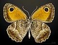 Pyronia cecilia MHNT CUT 2013 3 32 Solliès-Pont male ventral.jpg
