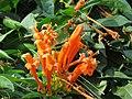 Pyrostegia venusta - Flaming Trumpet in Wayanad (7).jpg
