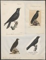 Pyrrhocorax alpinus - 1700-1880 - Print - Iconographia Zoologica - Special Collections University of Amsterdam - UBA01 IZ15700089.tif