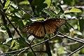 Queen (milkweed butterfly) Patagonia AZ 2017-05-02 09-38-53 (33626578493).jpg