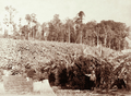 Queensland State Archives 2398 Smiths banana plantation with bearded man near Palmwoods Blackall Range c 1899.png