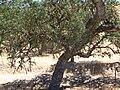 Quercus Agrifolia.jpg