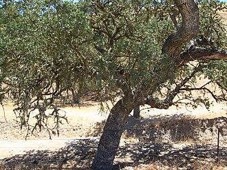 Quercus agrifolia - Coast live oak off California 101, central coast.