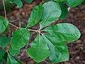 Quercus arkansana.jpg
