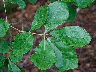 <i>Quercus arkansana</i> species of plant