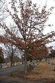 Quercus oglethorpensis (24141993546).jpg