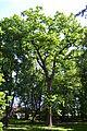 Quercus petraea - City Park in Lučenec (2).jpg