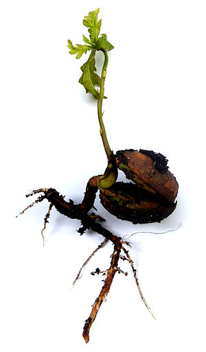 Quercus robur - Seedling sprouting from its acorn
