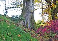 Quercus robur with buttresses, Woodland Garden, Dumfries House, East Ayrshire.jpg