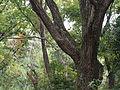Quercus serrata (21445740514).jpg