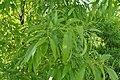 Quercus variabilis kz02.jpg