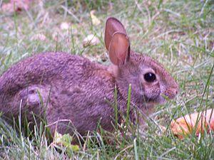 Rabbit-munching-on-carrot (Closeup)
