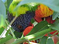 Rainbow lorikeet, Trichoglossus haematodus, feeding on flowers of Erythrina x fulgens horticultural hybrid at the Royal Botanical Garden, Sydney, Australia (16883729248).jpg