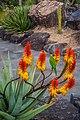 Rainbow lorikeet and Aloe sp Brisbane Botanic Gardens Mt Coot-tha IMGP3974.jpg