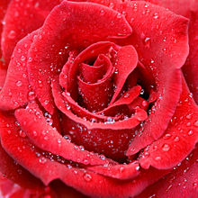 Raindrops red rose.jpg