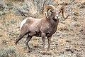 Ram in Gardner Canyon (9ef811f7-aaf4-4fc8-9a33-804a1a62de77).jpg