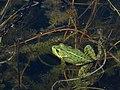 Rana Comun - Pelophylax perezi (14504102530).jpg