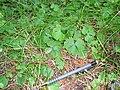 Ranunculus lapponicus 2-eheep (5097955560).jpg