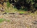 Red-bellied Black Snake (Pseudechis porphyriacus) (8257629038).jpg