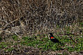 Red-winged Blackbird (Agelaius phoeniceus) - London, Ontario.jpg