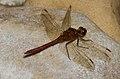 Red Dragonfly 2 (7974388216).jpg