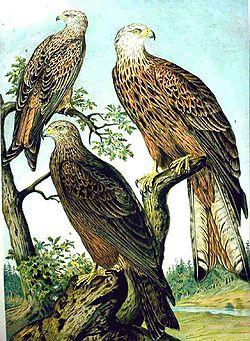 鸢属的黑鸢(左下)和赤鸢