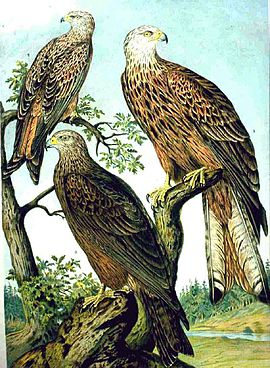 Red Kite and Black Kite NAUMANN.jpg