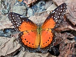 Red Lacewing (Cethosia biblis).jpg