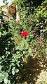 Red Moroccan Rose.jpg
