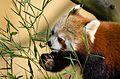 Red Panda (16525646006).jpg