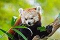 Red Panda (26773134209).jpg