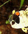 Red Pierrot Talicada nyseus UP by Dr. Raju Kasambe DSCN9202 (4).jpg