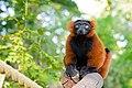 Red Ruffed Lemur (50349741593).jpg