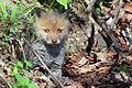 Red fox kit 2 (Vulpes vulpes).jpg