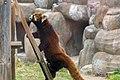 Red panda, Osaka Tennoji Zoo (40591691981).jpg