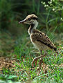 Red wattled lapwing immature.jpg