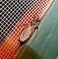 Reduviidae - Assassin Bug Family. ( Kissing Bug^) - Flickr - gailhampshire (1).jpg