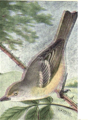 Reed-white-eyed-vireo.png
