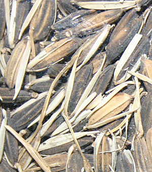 Oryza glaberrima -  African rice in its inedible husk