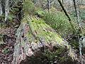 Reserva Natural Integral de Muniellos (Asturias, España) 03.JPG