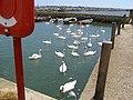 Resident Swans - geograph.org.uk - 501959.jpg
