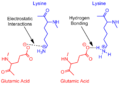 Revisited Glutamic Acid Lysine salt bridge.png