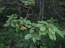 rhamnus purshiana - wikipedia, Skeleton