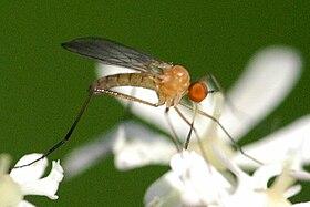 Rhamphomyia.flava.-.lindsey.jpg